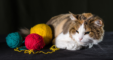 tricolor cat hugging a balls of bright yellow red blue yarn Stock Photo