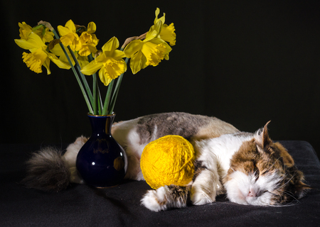tricolor cat sleeping a ball of bright yellow yarn and bouquet of daffodils in a blue vase Stock Photo