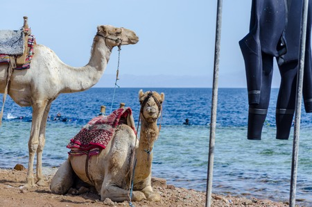 portrait of two camels close up on coast of sea in Egypt Dahab South Sinai