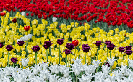 large blooming flower bed with red yellow and white holland multicolored hybrid tulips