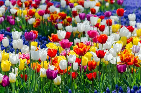 large blooming flower bed with motley multicolored hybrid tulips