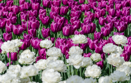 large blooming flower bed with puple and white holland hybrid tulips Stock Photo