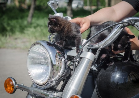 little black kittens on the steering wheel of a chopper motorcycle close up