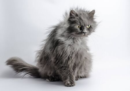 shaggy angry gray adult fluffy cat on a light background Фото со стока