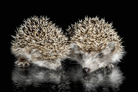 two cubs hedgehog on glass on a black background