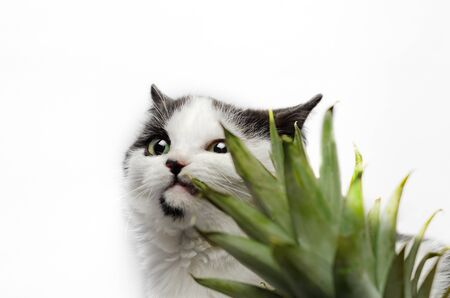 black and white cat nibbles on green leaves of pineapple 版權商用圖片