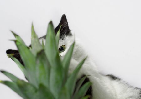 black and white cat nibbles on green leaves of pineapple