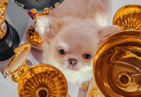 disgruntled cream chihuahua puppy among cups and awards