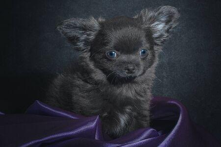 black chihuahua puppy in folds of purple cloth on a dark background Reklamní fotografie