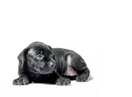 little puppy dog ​​of breed canecorso on a white background in isolation closeup