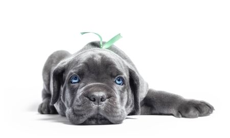 little puppy dog of breed canecorso on a white background in isolation closeup