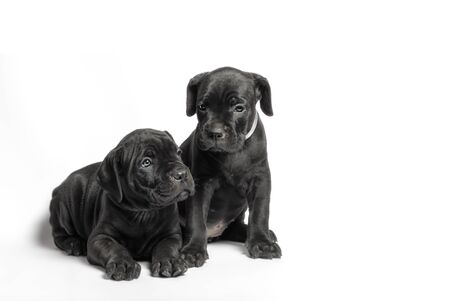 couple little puppy dog of breed canecorso on a white background in isolation closeup Stockfoto