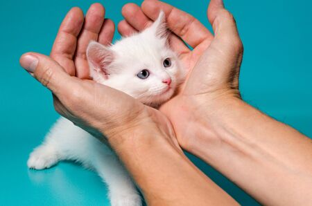 little white kitten in male palms on a turquoise background