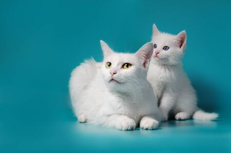 little white kitten next to his mother on a turquoise background