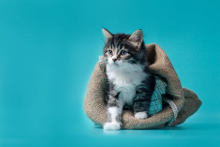 fluffy tabby kitten gets out of the sack on a turquoise background