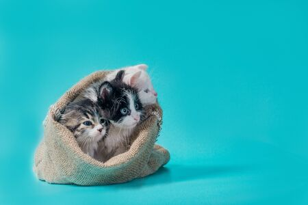 three little kittens in  sack on a turquoise background