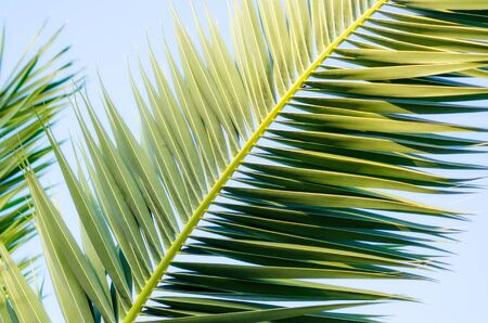 tropical background pattern green palm tree branch closeup in isolation Reklamní fotografie