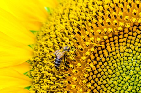 bright yellow sunflower with a striped bee collecting pollen close-up Stok Fotoğraf