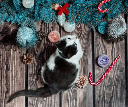 Christmas flat lay gray and white kitten on a wooden floor with Christmas decorations and blue fir branches Stok Fotoğraf
