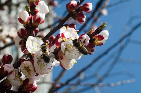two bees collects pollen on a wild apricot flower against a blue sky background close-up macro on a clear spring day