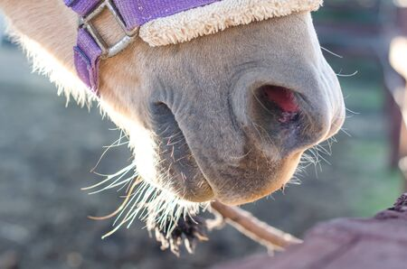 horse nose and mouth in harness closeup