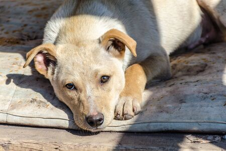 Outbred red puppy sad at the shelter on a dirty litter at sunny day Stock Photo