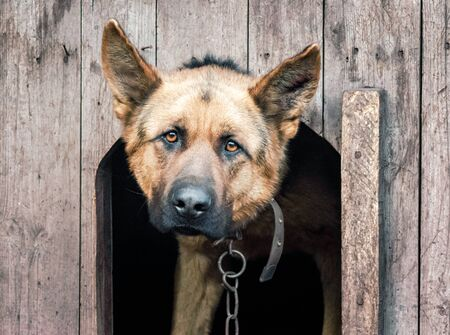 portrait of a german shepherd on a chain in a wooden doghouse close up