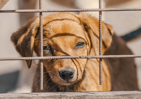purebred beige puppy in a wooden cage 写真素材