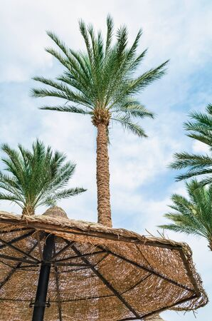 tall palm trees and wicker beach umbrellas in egypt tropical background without people