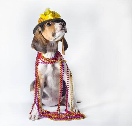 mardi gras puppy with long ears in multi-colored beads and carnival hat sitting on white background Stock Photo