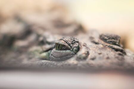 crocodile eye dangerous reptile hides watching and hunting close up