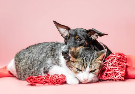 miniature pinscher puppy and cat with valentines day decor on a red background