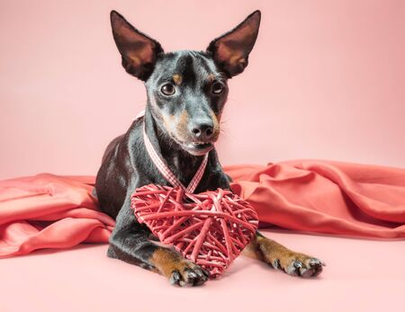 little curious puppy miniature pinscher with heart valentines day decor isolated on a pink background