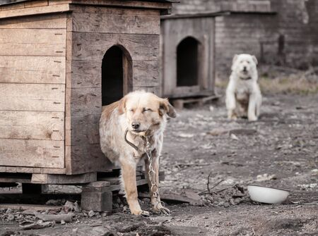 two mongrel dogs on a chain in a farm