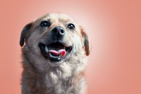 happy smiling mongrel red dog on a peach colourbackground