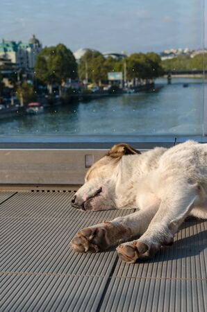 white-red-haired dog calmly sleeps on a foot bridge over the Kura River in Tbilisi Georgia
