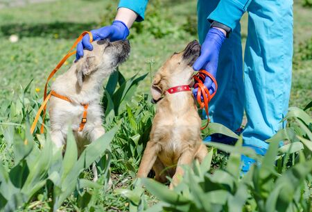 man in blue veterinary uniform stroking two puppies sitting in green grass