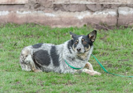 frightened black and white dog mongrel on a leash lies on green grass