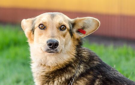 shelter mongrel dog with a red tag in the ear on a background of green lawn Stok Fotoğraf