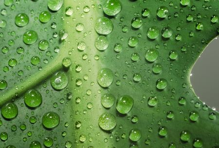 green leaf of a plant with dew drops in detail macro closeup