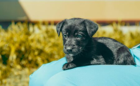 black mongrel puppy lays on the lap of a man in blue trousers Stok Fotoğraf - 147394193