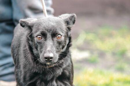 black mongrel dog on a leash in fear