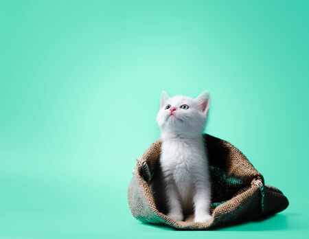 idiom white kitten in a sack on light green background