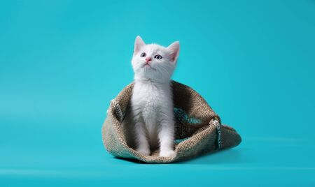 idiom white kitten in a sack on turquoise background