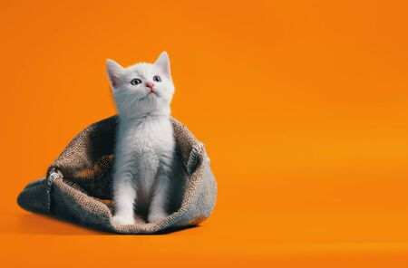 white kitten in a sack on orange background