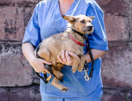 woman in uniform of a veterinarian holds a small cur dog in her arms Stok Fotoğraf - 147539350