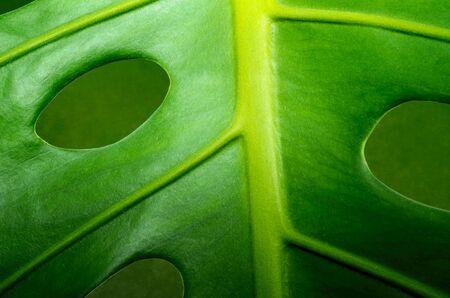 close up fresh green leaf monstera plant macro flora background pattern