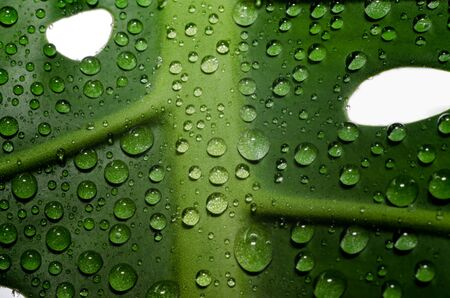 green leaf of a plant with dew drops in detail macro closeup Stok Fotoğraf - 147942959