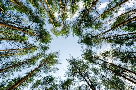 bottom view of tall pine trees in the forest against the sky and clouds nature background Stok Fotoğraf - 149776688