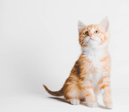 ginger red tabby kitten sits and looks up on a light background